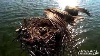 Tom & Audrey's Osprey Adoption