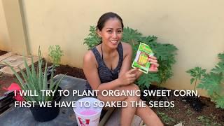 Menanam Jagung manis di halaman rumah Growing sweet corn at our home organic garden
