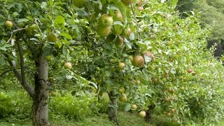 Gambar cover How to Grow Apple Trees - Complete Growing Guide