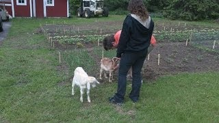 The Hobby Farm. The Goats Are In The Freezer. What Does Goat Taste Like?