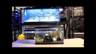 Video How To: Set Up An Axolotl Tank HD download MP3, 3GP, MP4, WEBM, AVI, FLV Mei 2018