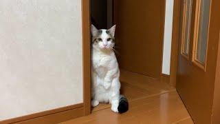 自分の鳴き声に警戒する猫