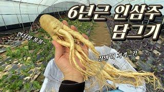 6년근 대형 인삼으로 '인삼주' 담그기!…