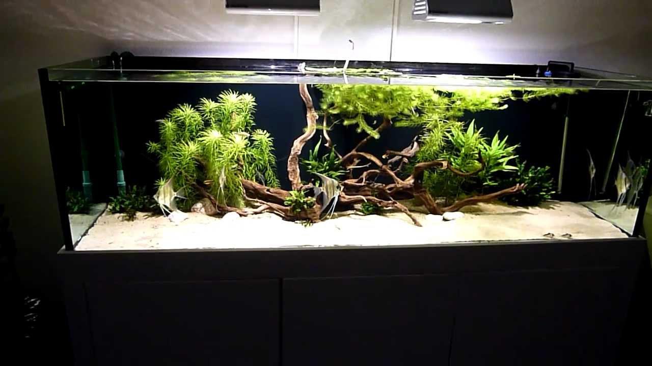 Pterophyllum altum 720liter amazonas aquarium youtube for Skalar aquarium