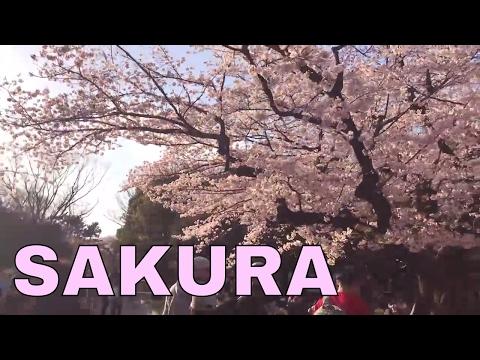 SAKURA in Tokyo-Yoyogi Park (Cherry Blossoms Viewing)