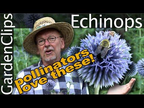 Echinops Ritro - Globe Thistle - Growing Echinops