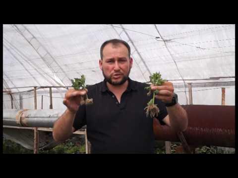 ArtVik посадка хризантем. Советы по выращиванию хризантемы