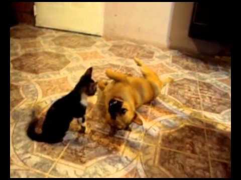 Gatos y perros peleando video gracioso