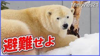 突然のフブキ避難せよ!ホッキョクグマの表情・慎重な対応に注目 Polar Bear in sudden snowstorm