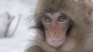 【SNOW MONKEY】 Life in the Snow 12 極寒を生きる猿たち 地獄谷野猿公苑