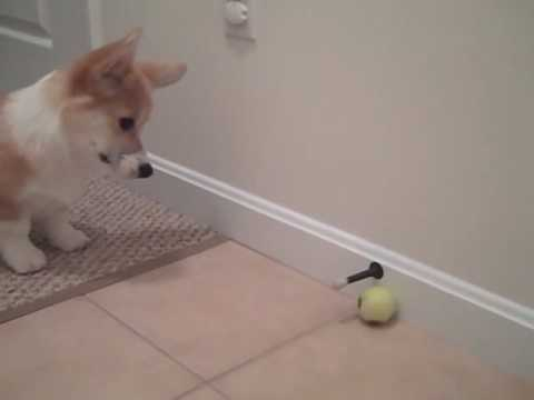 Cooper And His Favorite Dog Toy The Door Stopper Youtube