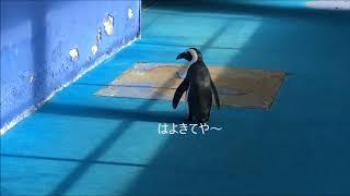 ケープペンギンのヨコちゃん。お散歩中、いつも先頭を進んで行くんです...