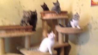 Шотландские котята, питомник Магукэт