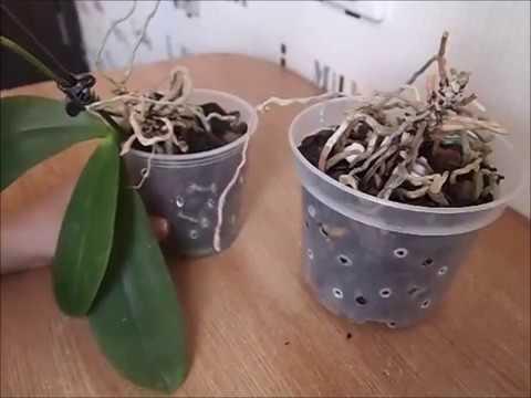 Реанимация орхидеи без листьев и точки роста