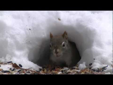 'Party At The Snow Hole' -Blue Jays & Red Squirrels