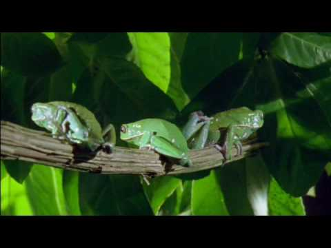 Waxy Monkey Frog (waxining) - YouTube
