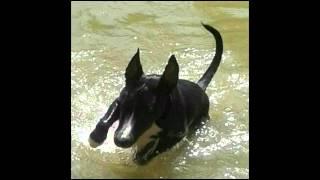 Zaya staff bull terrier 4 Thumbnail