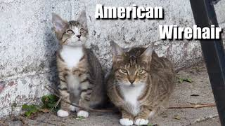 American Wirehair Cat Video and Sound Effect (4k)