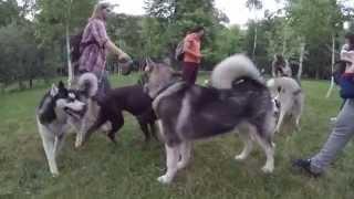 Схватка собак, бои на пикнике, хаски,малумут,доберман,бульмастиф/ Dogs fight!(Подписываемся и ставим Большие пальцы Вверх !!! Subscribe and put Thumb UP!!! Dogs fight. Fights on a picnic Husky, malamute, doberman, bullmastiff., 2015-06-08T20:56:15.000Z)