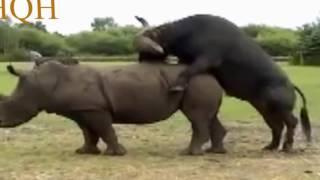 krycia zwierzę nosorożca z bawołu , accoppiamento animale di rinoceronte con bufala