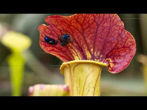 Fascinating Carnivorous Plants😈🍃🍃🌍 | Discover The World (strange plants)
