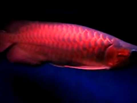 Arowana the most expensive fish in malaysia youtube for Most expensive saltwater fish