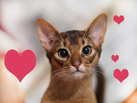 Moe the silly abyssinian cat