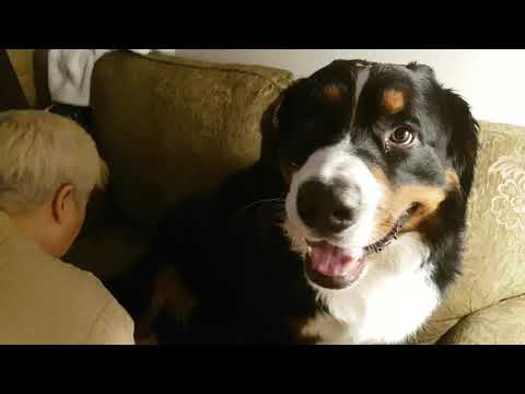 Max our Bernese Mountain Dog needs to get his booties off his paws