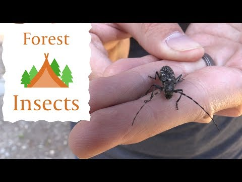 Collecting Insects In A Pine Forest