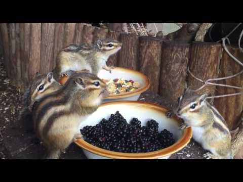 Chipmunk feeding time