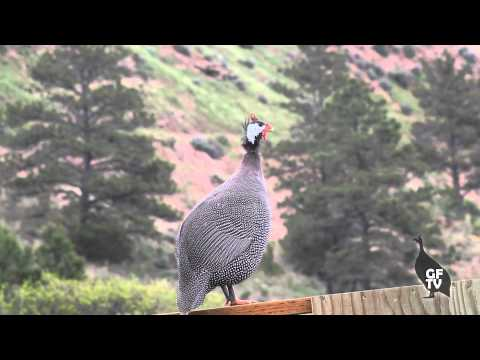 Male Guinea Fowl Sounds & Calls