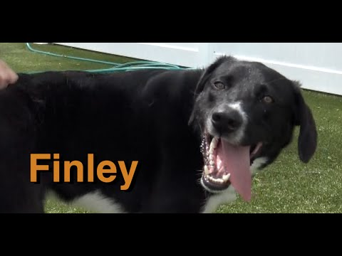 My name is Finley: Pyrenees dog, Aussie dog, Border Collie dog mix needs a home.