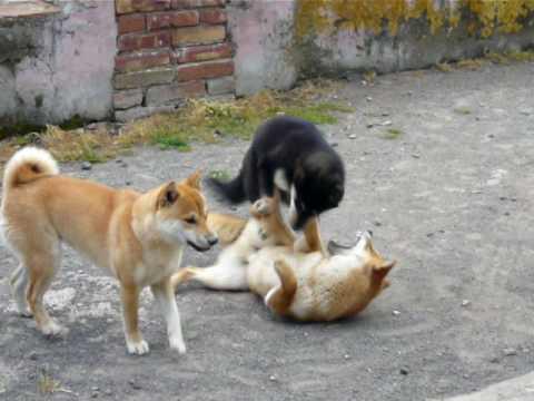 3 shiba giocano insieme