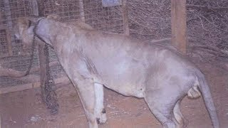 Dolo Was Starved And Chained Up So Tightly That He Became Barely Recognizable As A Lion