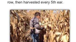Estimating Corn Yield