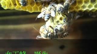 日本蜜蜂の 女王蜂誕生の瞬間を 捉えた。