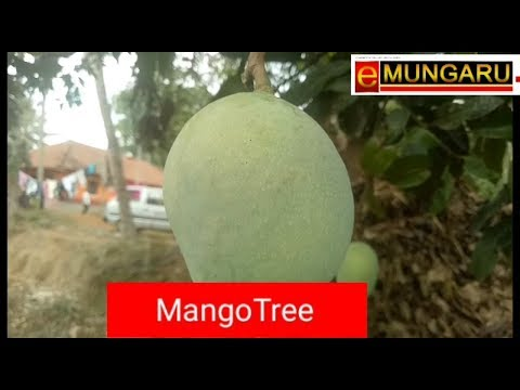Mangaluru | A rate Mango Tree at Venuru attracts growers