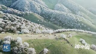 China From Above: Blooming apricot flowers in Xinjiang