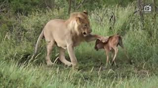 Если бы ЭТО не сняли на камеру, НИКТО не поверил БЫ! Животные спасают друг друга!