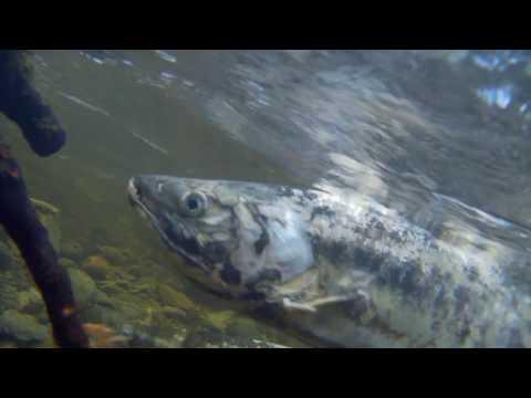 Awesome! Goldstream Salmon Run! Zombie Salmon???