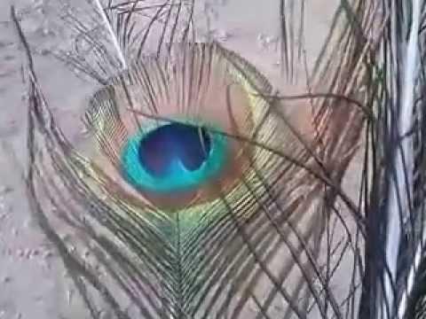 Las plumas del Pavo Real, en el huerto de Esther.