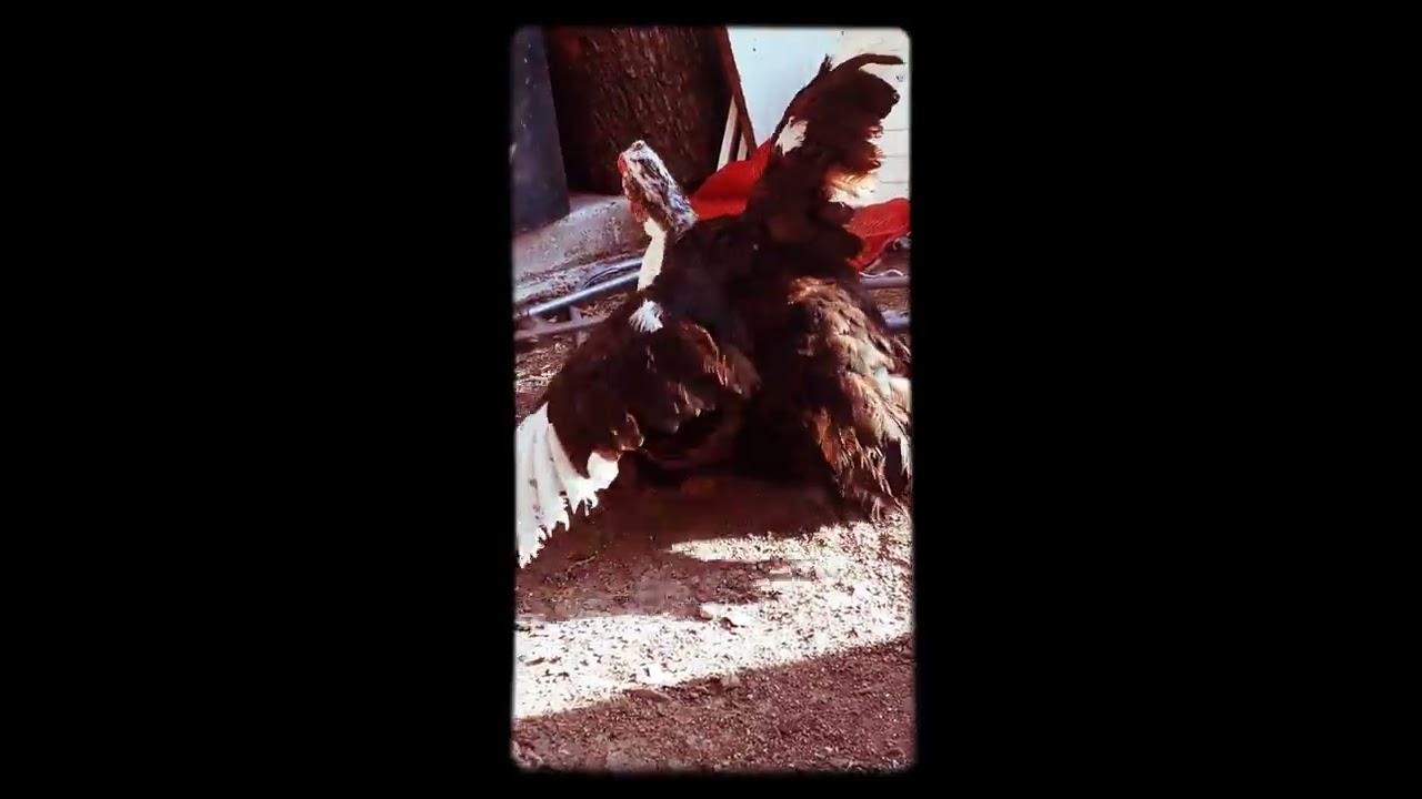 Muscovy (amerikan) ördeklerinin çiftleşme anı