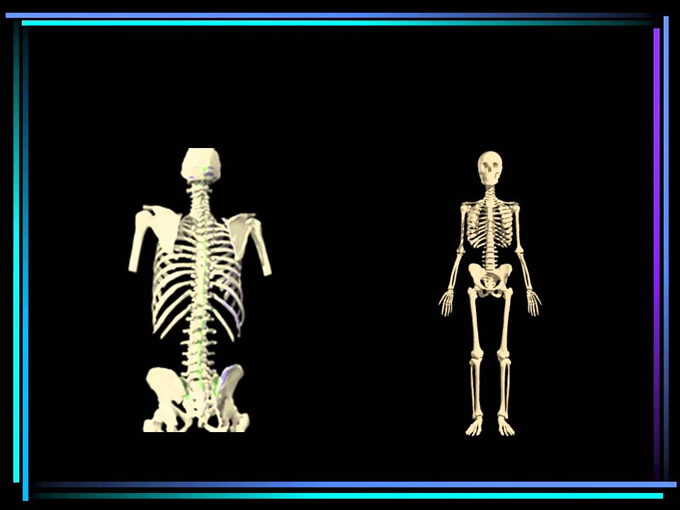 vertebrates ks3 - youtube, Skeleton