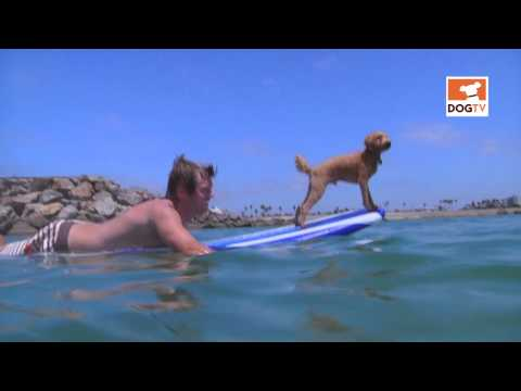 Surfing with the dog [DogTV]