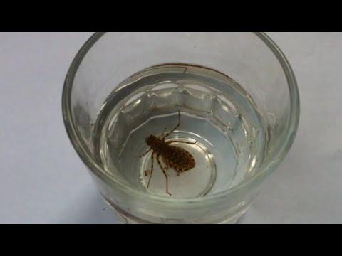 Dragonfly Larvae – Fly Fishing Bait – Mồi Câu Cá Thát Lát Nàng Hai – Con Ăn Mày