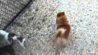 Aslan, Pomeranian