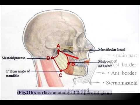 Anatomy -Parotid Gland - by:Yousef Mahmoud - YouTube