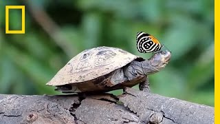 Did You Know Butterflies Drink Turtle Tears? | National Geographic