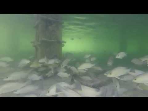 Underwater at Stiltsville FLA, Key Biscayne Bay