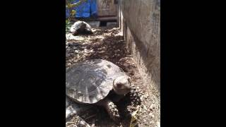 Mountain tortoise chase